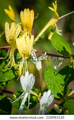 Honeysuckle - Vertical close-up color image of yellow and white honeysuckle blossoms with water droplets on petals and leaves. - stock photo