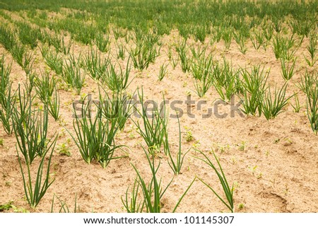 honor of a field on which grow up green onions