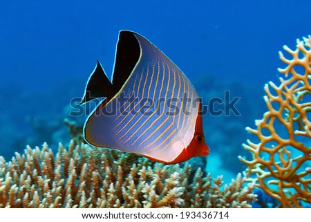 Hooded butterflyfish (Chaetodon larvatus) in the Red Sea, Egypt. - stock photo