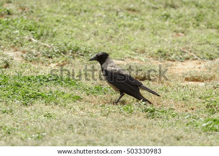 Hooded crow at faded wither grass