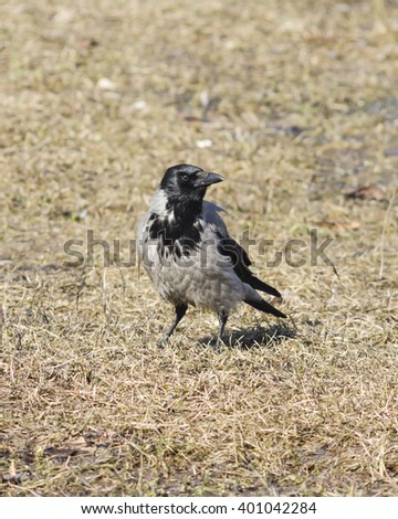 Hooded Crow , Corvus cornix, portrait on dry grass early spring closeup, selective focus, shallow DOF - stock photo
