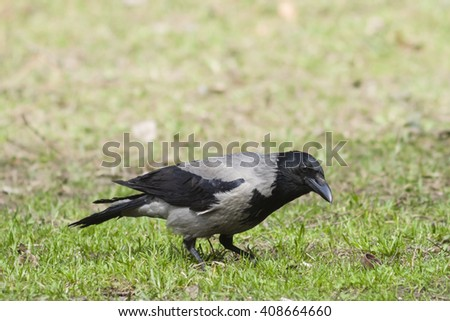 Hooded Crow, Corvus Cornix, searching for food portrait in spring grass, selective focus, shallow DOF - stock photo