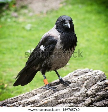 Hooded crow (Corvus corone cornix) looks at the camera. - stock photo