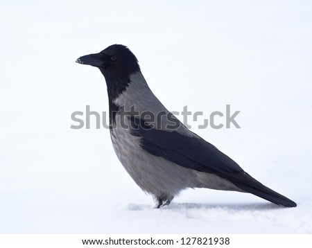 Hooded crow in profile standing on snow