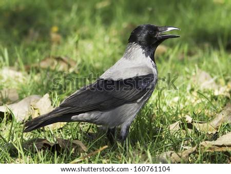 Hooded Crow walking on the grass (Corvus corone cornix) - stock photo