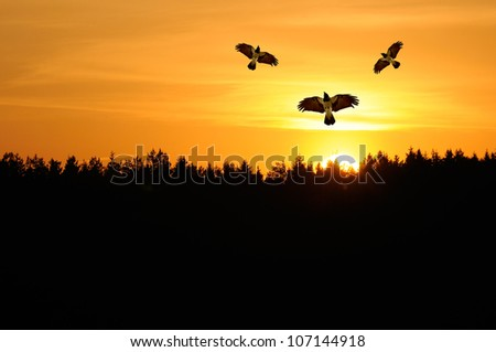 Hooded Crows Flying in the Sky at Sunset - stock photo