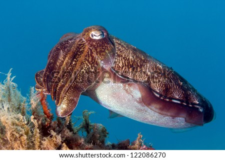 Hooded Cuttlefish swims next to some marine plants - stock photo