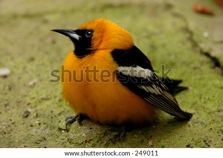 Hooded Oriole - stock photo