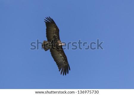 Hooded Vulture, Necrosyrtes monachus, in Flight, Kenya, Africa. - stock photo