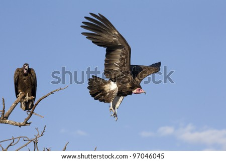 Hooded Vulture (Necrosyrtes monachus) in flight, South Africa - stock photo