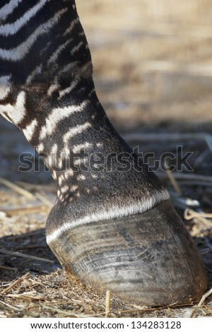 Hoof of a zebra - stock photo