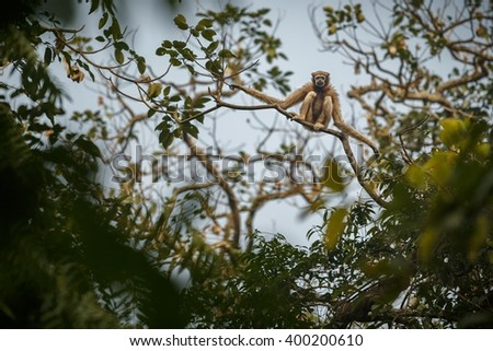 hoolock gibbon hanging high on a tree in jungle/hoolock gibbon hanging high on a tree in jungle/gibbon wildlife sanctuary in India   - stock photo