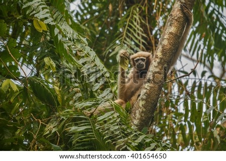 hoolock gibbon high on a tree in jungle/hoolock gibbon high on a tree in jungle/gibbon wildlife sanctuary in India   - stock photo
