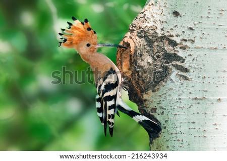 Hoopoe at nest hole at tree trunk with raised crown - stock photo