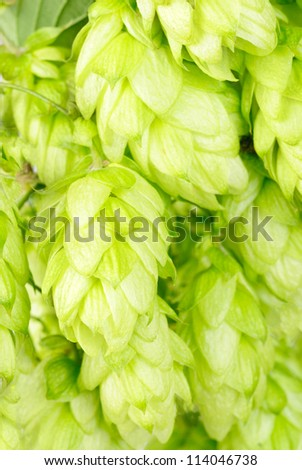 hop  close-up nature   background - stock photo