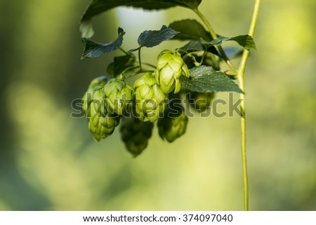 Hop cones ready to harvest. Organic raw ingredients for beer production. - stock photo