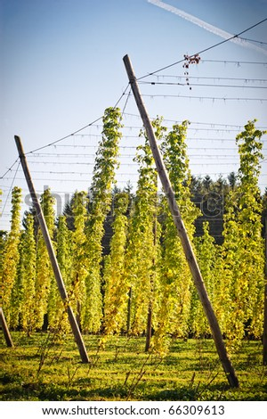 Hop Field in Autumn, Austria - stock photo