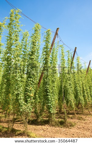 hop field in Germany, ready for harvest - stock photo