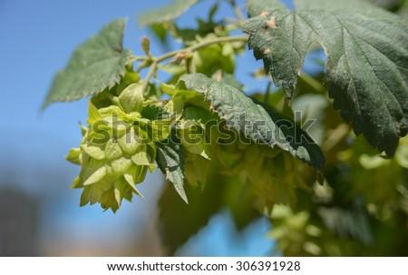 hop flowers - stock photo