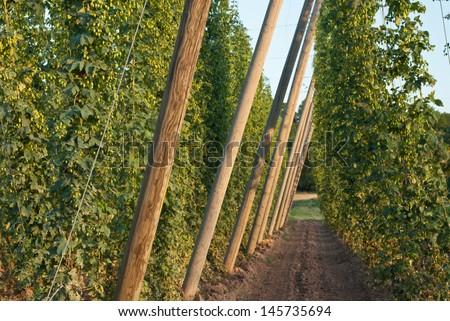 hop garden - stock photo