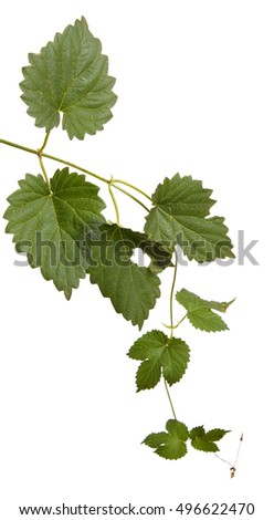 hop leaves isolated on white background