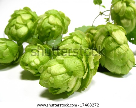 Hop-plant - stock photo