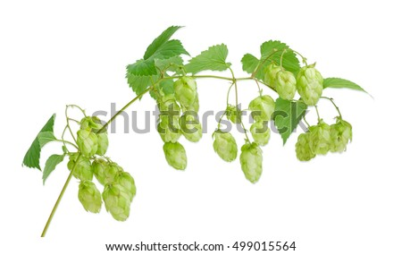 Hops branch with leaves and cones on a light background closeup