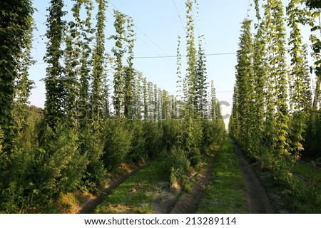 Hops field in the light of the evening sun. - stock photo