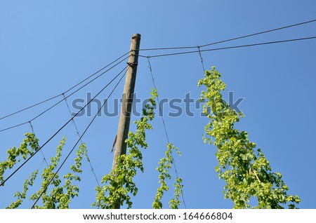 Hops plants on rank wires