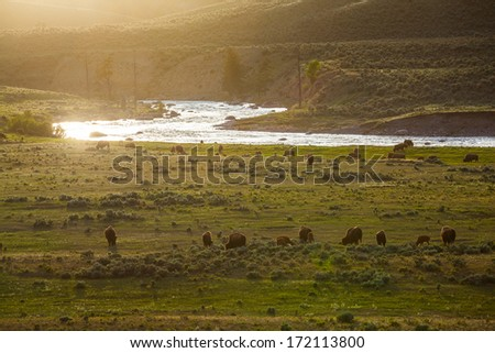 Horde of Bison finding food at sunset, Yellowstone National Park, Wyoming - stock photo
