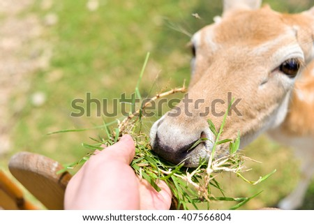 horizontal close up image of a hand feeding a baby deer some grass in the spring over a fence - stock photo