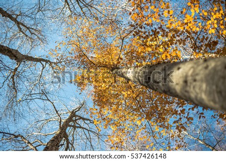Horizontal close view of a blurred beech trunk and focused colorful golden autumn treetop on a blue sky background