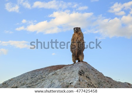 horizontal color image close up of a single yellow bellied marmot standing on his rock, looking out / Single Yellow Bellied Marmot on a Rock