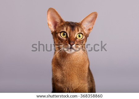 Horizontal facial close-up portrait of one domestic cat of Abyssinian breed with yellow eyes and red short hair, sitting  - stock photo