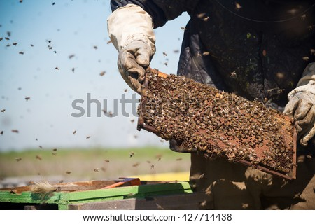 horizontal front view of a beekeeper in a protection suit checking the honey combs with bees swarming around - stock photo