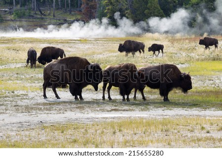 Horizontal image of a family of North American Buffalo with herd and hot springs in background within Yellowstone Park  - stock photo