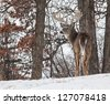 Horizontal image of a trophy sized whitetail deer buck looking over his shoulder on a hillside.  Winter in Wisconsin - stock photo