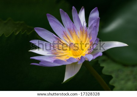 Horizontal image of beautiful blue water lily on black background. - stock photo