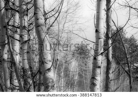 horizontal orientation black and white image of a grove of Aspen trees in the Rocky Mountains in Winter Season /  High Altitude Serenity in black and white