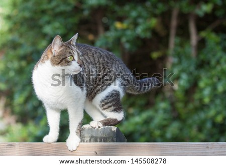horizontal orientation close up of a cat on a fence outside with lush green background and copy space/  Family Mouser - stock photo