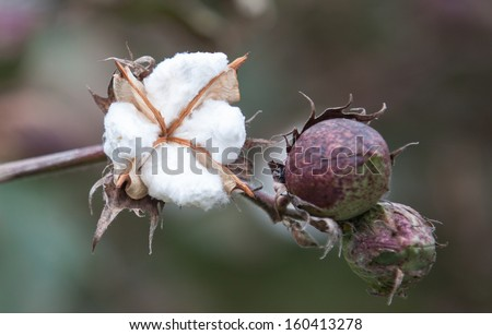 horizontal orientation close up of cotton plant in full bloom with copy space / Southern Cotton Crop - stock photo
