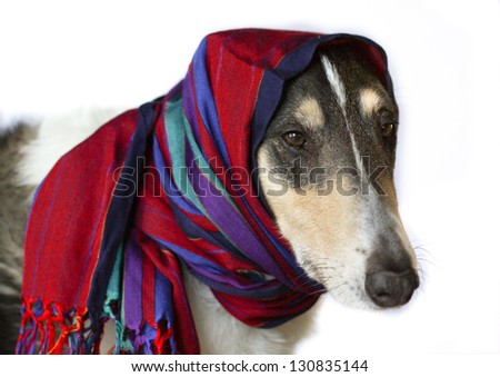 horizontal orientation close up of dog with very long nose wrapped in a stylish, colorful scarf on isolated white background with copy space / Dog meets Fashion - stock photo