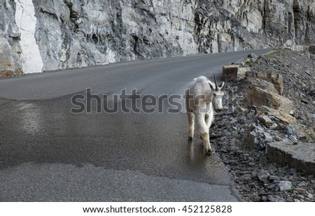 horizontal orientation image with muted colors of a single mountain goat on the Going-To-The-Sun-Road in Glacier National Park, Montana USA / Mountain Goat on the Road