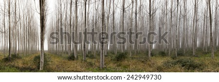 Horizontal Panorama. Trees in a forest with fog, winter - stock photo