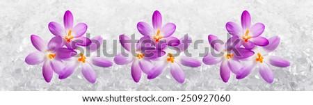 Horizontal panorama with Crocus flowers in the snow - stock photo