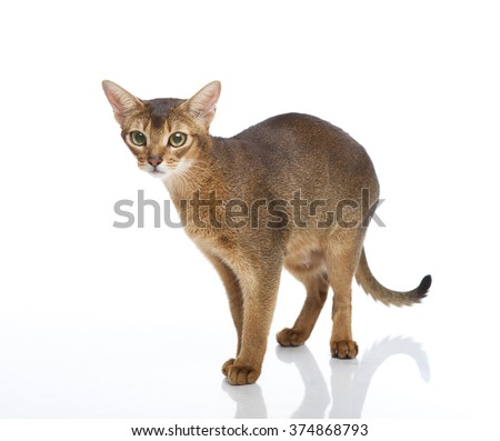 Horizontal portrait of one cat of Abissinian  breed standing on isolated background