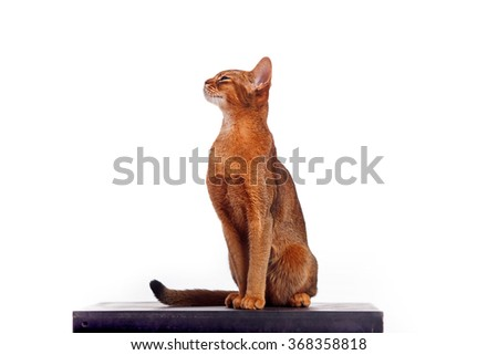 Horizontal portrait of one domestic cat of Abyssinian breed with yellow eyes and red short hair sitting on isolated background