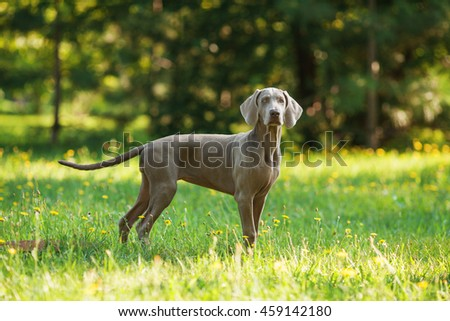 Horizontal portrait of one young puppy dog of weimaraner breed with gray coat standing outdoors on green grass on summer sunny day