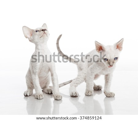 Horizontal portrait of two white curly kittens of Devon rex breed playing on isolated background