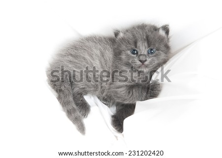 Horizontal shot of an adorable grey kitten with blue eyes looking at the camera - stock photo